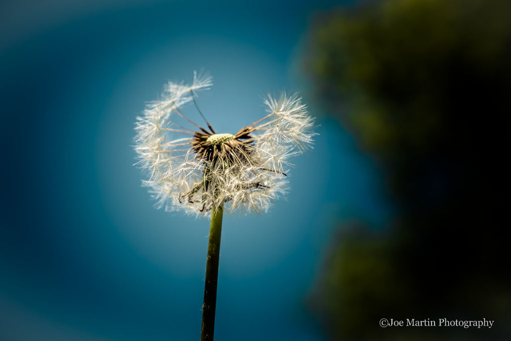 Great photo of a dandelion